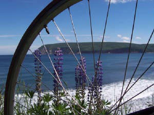 Lupine on the Cabot Trail